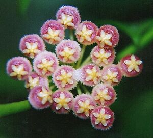 Hoya Obscura Collection Number 13 Pink Flowers Plant In 80mm Pot Ebay