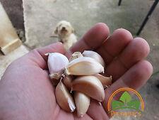 30 Organic Puerto Rican Garlic Cloves by Prorganics