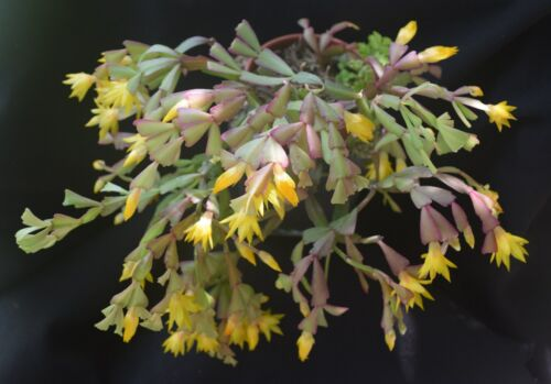 one firm cutting rare epiphytic cactus bradei clone #2 Schlumbergera lutea ssp