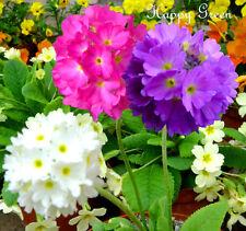 DRUMSTICK PRIMROSE MIX - 850 seeds - Primula denticulata - Perennial flower