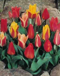 10 oder 20 Botanische Tulpen gemischt Tulpenzwiebeln Lieferbar 9.9.19