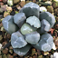 Haworthia magnifica Succulent plants potted Home Garden Plants