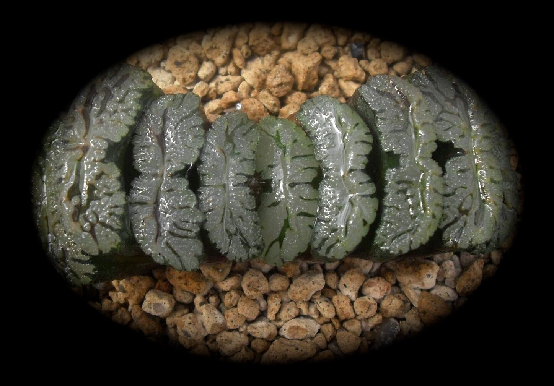 Haworthia Truncata Cv Murasaki establecido offset de 4cm no abigarrada HA044
