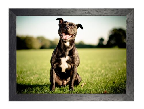 Staffy Dog Love Cute Sweet Animal Wild Poster Field Picture Happy Dog Photo