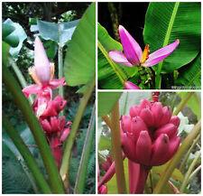 10 seeds of musa velutina o banana pink, seed R