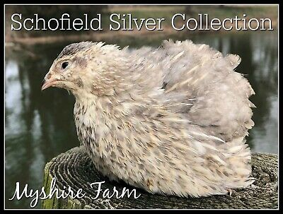 170+ SSC silver Coturnix Quail Hatching Eggs By Myshire Farm So Many Colors!!