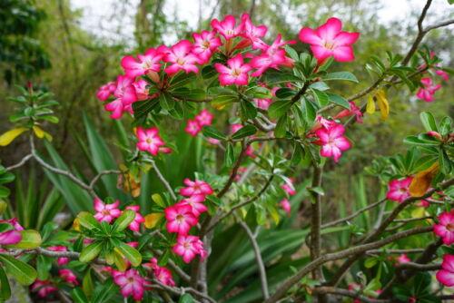 balcon plante rose des sables Exotique fleurs Rare semences rares chambre