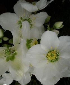 Hellebore Rose Blanche De Noel Helleborus Orientalis