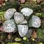 Haworthia-groenewaldii-Succulent-plants-potted-Plants-Home-Garden-Bonsai-Garden thumbnail 1