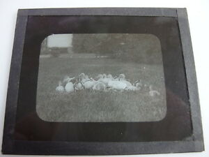 VINTAGE-GLASS-MAGIC-LANTERN-PHOTO-SLIDES-FLOCK-OF-DUCKS-IN-GRASS-ANIMALS-CUTE-NR