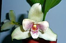 Lycaste Liberty Vanilla Spray Duft NEW Orchidee Orchideen
