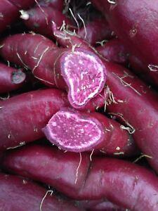 Details About Ipomoea Sweet Potato Batatas Molokai Purple Cuttings Tubers