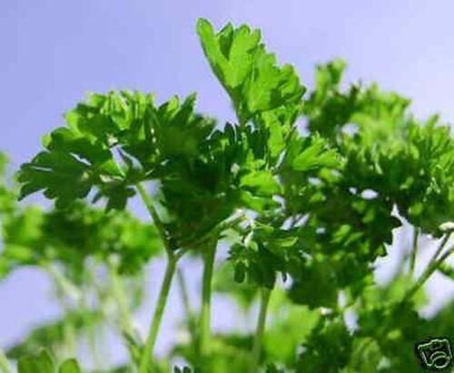 sehr würzig und aromatisch 200 Samen Glatte Petersilie