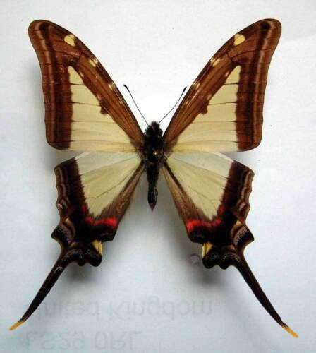 unmounted butterfly EURYTIDES LEUCASPIS