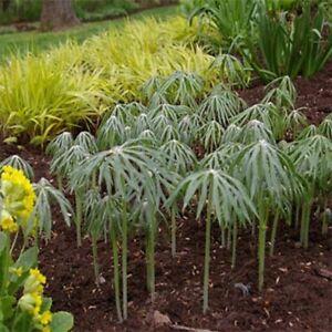 Umbrella-Plant-Cyperus-Alternifolius-100-Seeds-BOGO-50-off-SALE
