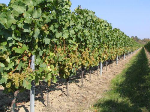Vier wunderschön geschliffene Theresienthal Weinrömer aus altem Weingutsbesitz
