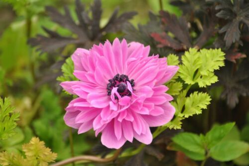 15 x Anemone The Admiral Bulbs Spring /& Summer Hardy