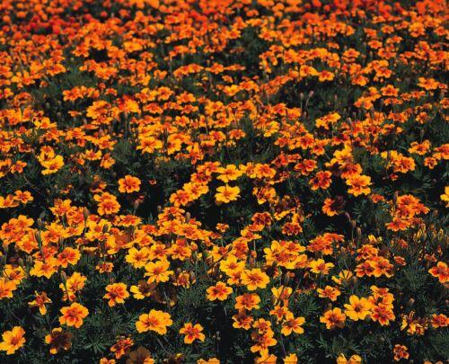 Kings Seeds Flower Marigold Naughty Marietta Pictorial Packet