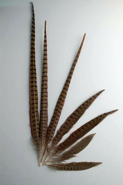 "25 Pcs ENGLISH RINGNECK PHEASANT Natural Feathers 8-10"" Halloween/Bridal/Costume"