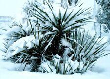 winterharte Keulenlilie  cordyline australis bis 10 Meter werdende Palme Samen