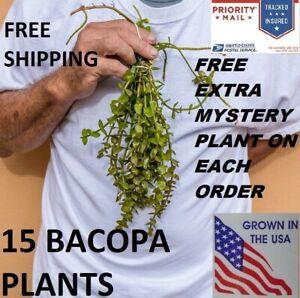 15-Bacopa-plants-live-aquarium-plants-aquascaping-planted-tank-beginner-easy