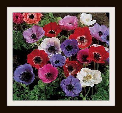 Anemone De Caen ____________Flower Bulbs
