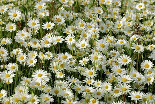1250 Graines de Marguerite Grande Marguerite Leucanthemum Vulgare Flower seeds
