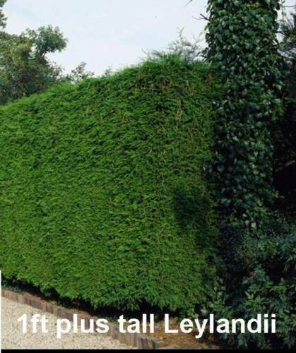 10 LEYLANDII GREEN foliage dense FAST GROWING evergreen hedging plants FIR TREE