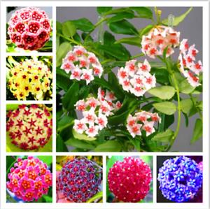 Potted Flowers Bonsai plants Hoya 300 Particles//lot Hoya flores Time-Limit!