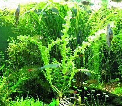 rare aponogeton capuroni plante feuillage tire bouchon