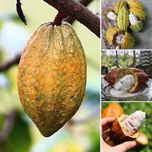 40x-Kakao-Obst-Frucht-Samen-Essbar-Frische-Pflanzen-Garten-Pflanze-Schoene
