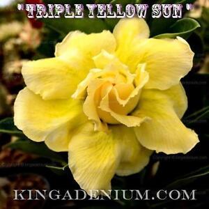 "ADENIUM OBESUM DESERT ROSE /"" TRIPLE  YELLOW SUN /"" 20 SEEDS NEW EASY BLOOM"