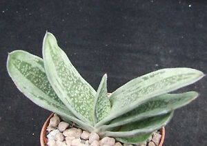 Gasteria 039Platinum039 choice 95cm hybrid collectors succulent  cactus - <span itemprop=availableAtOrFrom>Eastbourne, East Sussex, United Kingdom</span> - Any problems, just send us a message, also, any cultivation queries, just send a message and we'll sort things out. - Eastbourne, East Sussex, United Kingdom