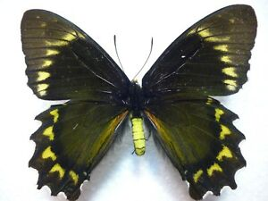 Real Butterfly/Insect/Moth Set/Spread B4183 Battus madyes 8 cm