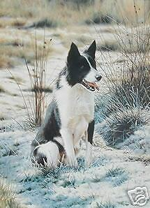 Steven-Townsend-TAKE-FIVE-5-Border-Collie-Collies-Dog