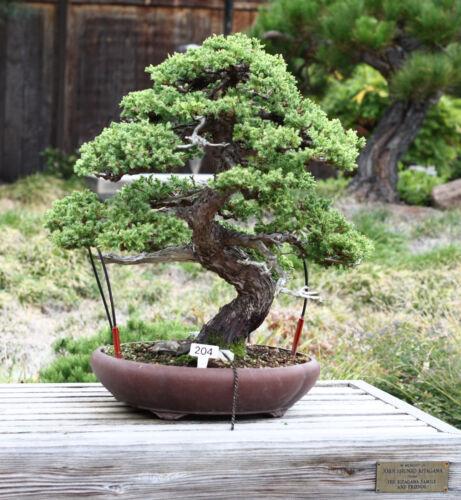 Bonsai TreeSeed Grow KitThe Jonsteen Company