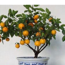 30stk ORANGEN BAUM samen: pflegeleichte Zitruspflanze, gedeiht immer Baumsamen
