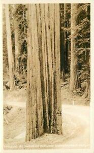 California #569 RPPC Photo Postcard Wayside Redwoods 21-1798