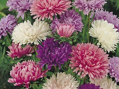 FLOWER ASTER CHINA POWDER PUFF 400 FINEST SEEDS  ANNUAL