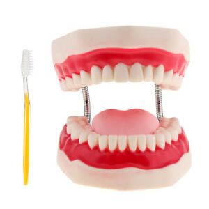 Human Mouth Dental Teeth Model Teaching Tools Toothbrush