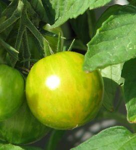 Green-Zebra-Gruen-Gelb-gestreifte-Tomate-suess-amp-saftig