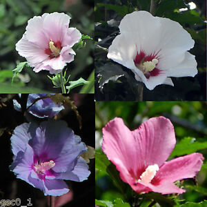 Hibiscus-syriacus-Althaea-Rose-of-Sharon-Mallow-Ketmie-Hardy-seeds-semillas