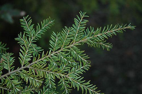 Western Hemlock Tsuga heterophyllia albero bonsai x 50 semi. conifera sempreverde