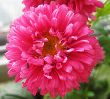 China Aster Seeds 50 Seeds Callistephus Chinensis Asteraceae Flower Garden A203