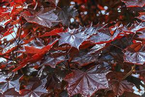 Image Is Loading Maple 039 Crimson King Acer Platanoides