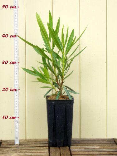 """Größe C1,4 im Rechtecktopf Nerium oleander Oleander /""""Rivage/"""""""