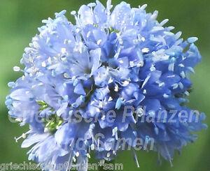 GILIA-CAPITATA-blaue-Kugeln-f-Schmetterlinge-100-Samen