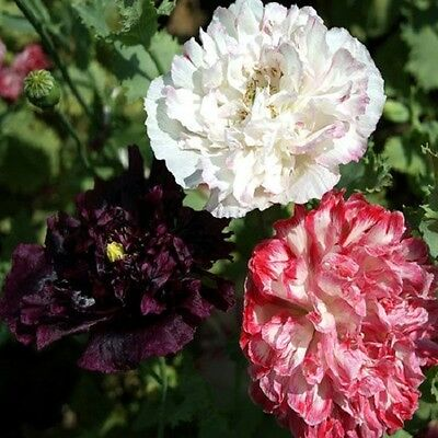 500 Poppy Seeds Peony Antique Shades FLOWER SEEDS Papaver Seeds