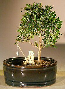 Bonsai Boy Of New York Flowering Brush Cherry Bonsai Tree Br Water Land Conta For Sale Online
