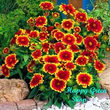 BLANKETFLOWER DWARF MIX - 300 seeds - Gaillardia aristata PERENNIAL FLOWER